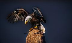 Weikopfseeadler (Delbrckerin) Tags: weiskopfseeadler adler eagle greifvogel vogel bird outdoor nikond90 sigma150600mm