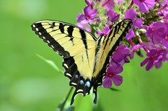 Swallowtail Butterfly (explore 7/24/2016) (John W East AU58) Tags: butterfly phlox swallowtail nature nikon d7000 blackyellow flyingthing wow