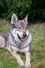 DSC00808 (Andrew Gibson.) Tags: lakedistrict maleswolf sonya7ii sonyilce7m2 thepredatorexperience wolves wolf wildlife wolfhybrid predatorexperiencecouk maska kajika outdoor animal