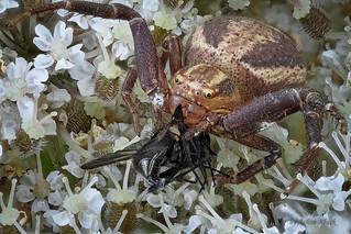 Eine Sumpfkrabbenspinne (Xysticus ulmi) verspeist eine Fliege auf einer Doldenblüte