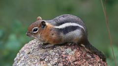 Golden-mantled Ground Squirrel - Pikes Peak, Colorado (Hard-Rain) Tags: goldenmantledgroundsquirrel pikespeak colorado mammal wildlife nature