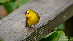 Wilson's Warbler  - a true cutie (Bob Gunderson) Tags: birds botanicalgardens california cardellinapusilla goldengatepark northerncalifornia sanfrancisco warblers wilsonswarbler woodwarblers