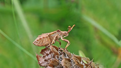 Dock Bug (Late instar nymph) (jaytee27) Tags: dockbuglateinstar naturethroughthelens