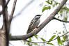 Blackpoll (martytdx) Tags: garretmountain nj woodlandpark birding birds migrationspring2016 songbird warbler woodwarblers blackpollwarbler setophagastriata setophaga parulidae male lifelist