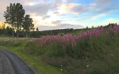 Sunset and Fireweed (hansn (2+ Million Views)) Tags: bildstrom landscape landskap sunset solnedgng fireweed rosebaywillowherb chamerionangustifolium epilobiumangustifolium rallarros mjlke vrmland sweden sverige