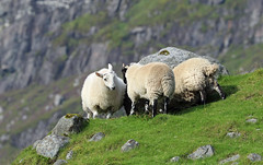Scottish head butting sheep... (David Russell UK) Tags: animal animals nature sheep ram ewe flock mountain hill harris lewis isle island isles western outer hebrides travel