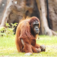 DSC_2329_DxO (jonathon lynam) Tags: animals dublinzoo dublin ireland zoo nikond40 nikon nikonphotography orange orangutan captivity sun