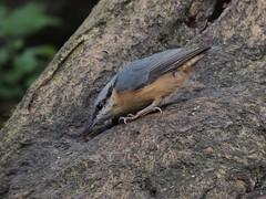 Nuthatch (Sitta europaea) (Turtlerangler) Tags: sitta bird leightonmoss cumbria uk