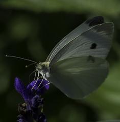 Butterfly_SAF7623-1 (sara97) Tags: butterfly copyright2016saraannefinke flyinginsect insect nature outdoors photobysaraannefinke pollinator saintlouismissouri towergerovepark