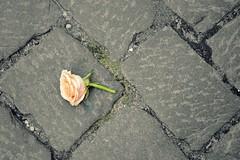 Gdask rose (Helene Iracane) Tags: nikon d3100 rose flower floor cobblestone cobblestones city town pologne polska poland cut coupe sol old ancient summer t ville polonais polonaise polish
