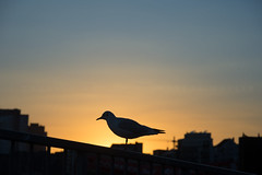 gullhouette (Fotogezwitscher) Tags: silhouette silence sunset bird gull hamburg gradient orange yellow blue buildings urban city roofs top
