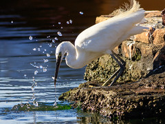 430201808bCERVIA-9 (GIALLO1963) Tags: garzettaegrettagarzetta cervia 2016 canonef40056l canoneos7dmarkii birds inwild