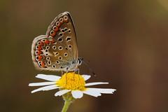 Polyommatus icarus (5) (JoseDelgar) Tags: josedelgar insecto mariposa polyommatusicarus ngc npc coth coth5 alittlebeauty contactgroups thegalaxy