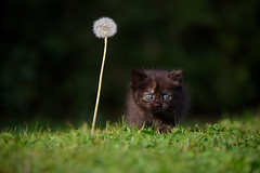 'The World's Biggest Dandelion' (Jonathan Casey) Tags: d810 nikon 105mm f28 kitten cat chums catchums rescue