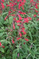 IMG_4574 (ianharrywebb) Tags: edinburgh iansdigitalphotos royalbotanicgardens flowers flower
