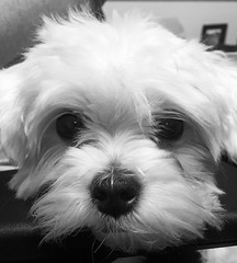 What I see looking at me from my cube mate's chair. This cutie is Layla. (pixeljoel) Tags: blackwhite cute fuzzy blackandwhite inexplore bw white colorado co workdog fluffy dog maltese explore