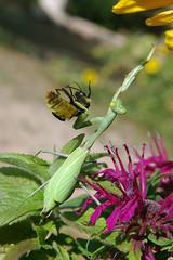 Carrying a shopping bug and climbing... (cbrozek21) Tags: mantis prayingmantis bumblebee flowers yellowflowers prayingmantisfeeding nature hunting sweetfreedom astoundingimage fantasticnature pentaxflickraward colorsinourworld