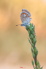 Bluling mit Tropfen 12.jpg (oliver r.) Tags: canon tamron macro makro nature natur insect insekt wildlife outdoor bluling schmetterling butterfly falter wasser water tropfen drops waterdrops wassertropfen tau morgentau