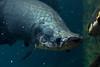 20160910-IMG_7482 (pixelGeko) Tags: dallas aquarium arapaima dallasworldaquarium fish