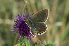 Kleiner Sonnenrschen-Bluling (planetvielfalt) Tags: lepidoptera lycaenidae lycaeninae polyommatini thringen deutschland