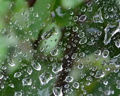 rain droplets on spider web (drafiei1) Tags: web spider spiderweb rain trees tree leaf leaves bokeh depthoffield green drop drops droplet