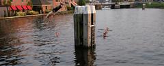 DSCF3126.jpg (amsfrank) Tags: amsterdam amstel oudekerk swimming summer diving dive