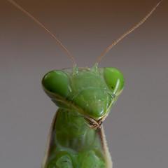 Mantis religiosa 5 (Jeaunse23) Tags: mantis preyingmantis mantisreligiosa macro insects france