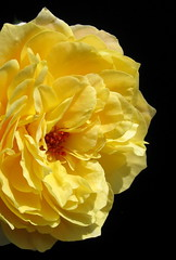 The Yellow Rose of Brooklyn by My Lovely Wife (Puzzler4879) Tags: flowers roses brooklyn ngc rosa brooklynbotanicgarden botanicalgardens yellowflowers pointshoot botanicgardens canonpowershot yellowroses canondigital canonaseries floralfantasy canonphotography wonderfulphotos cranfordrosegarden perfectpetals canonpointshoot mycameraneverlies asingleflower a580 50photographers canona580 canonpowershota580 powershota580 amazingdetails handselectedphotographs naturescarousel naturewithallitswonders mygearandme weloveallflowers silveramazingdetails redlevelno1 yellowlevelno2