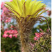 Echinopsis aurea – Blüte im Profil