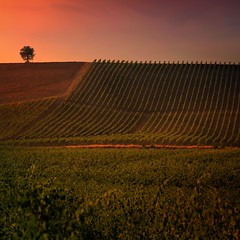 The warm colors of the Tuscany sunset (Bn) Tags: sunset red summer italy sun sunlight holiday colour tree green colors leaves florence oak topf50 cherries strada italia berries estate bright wine barrels small grow dry visit hills vineyards tuscany grapes chianti fields strong farms cypress lonely wildflowers siena taste roads radda product toscane region topf100 plums fruity greve produced rubby vino flourish discover vinyards wijn casale bottling sangiovese cellars dello cultivated classico castellina hillsides harmonious castellinainchianti 100faves 50faves sparviero