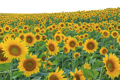 Sunflowers (beverly underwood) Tags: