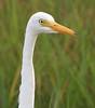 Intermediate Egret portrait (Wild Chroma) Tags: portrait birds srilanka intermedia egretta mesophoyxintermedia egrettaintermedia naturetrek nonpasserines mesophoyx muthurajawela