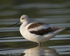 American Avocet (claybuster1(Mike & Doris)) Tags: michigan 2012 americanavocet shorebirds shorebird macombcounty 9612
