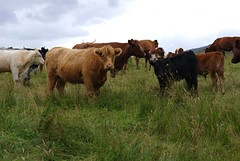 Scottish cows (Rotdenken (Jules Rigobert)) Tags: voyage uk greatbritain trip travel summer nature scotland kuh photo reisen europa europe flickr foto estate cows unitedkingdom sommer sony eu verano jules dslr t ru mucca regnounito 2012 ue viajar vaches schottland reinounido ecosse scozia cosse royaumeuni argyllandbute grandebretagne viaggiare greatphotographers scocia vereinigtesknigreich rigobert grosbritannien mygearandme rotdenken julesrigobert