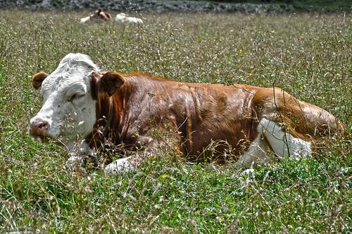 dolomitas-vaca 1