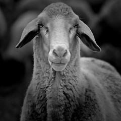 It's about sheep (Joerg Marx) Tags: portrait bw animals tiere sheep porträt schaf 52weeks 312012 highqualityanimals