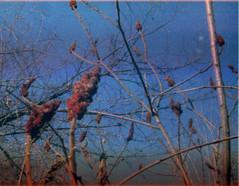 (abdukted1456) Tags: autumn ny newyork fall nature toy promo 110 sumac konica grainy expired promotional velveeta expiredfilm schaghticoke vx200 shellsandcheese