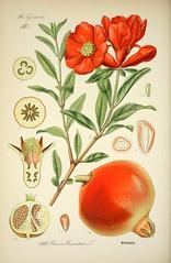 Anglų lietuvių žodynas. Žodis lythraceae reiškia <li>lythraceae</li> lietuviškai.