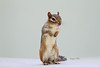 You wanna piece of me? (Peggy Collins) Tags: cute chipmunk tough standup standtall supershot peggycollins chipmunkpicture chipmunkstandingup