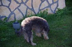 IMGP6914 (m@s71) Tags: dog cane yorkshire terrier animale barboncino animaledomestico meticcio amicodelluomo