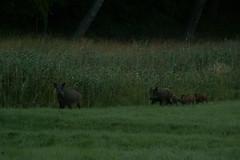Family boar out of the woods early in the morning to drink to the bay /gulf (OlgaKen) Tags: photocontesttnc09 photocontesttnc12