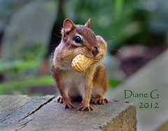 Chipmunk (Diane G. Zooms) Tags: nature wildlife ngc chipmunk npc thegalaxy specanimal fantasticnature alittlebeauty hganimalsonly sunrays5 saaiysqualitypictures beautiesbeasts bbexcellence