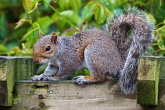 Grey squirrel (Sciurus carolinensis) (PeterQQ2009) Tags: uk cornwall mammals greysquirrel sciuruscarolinensis