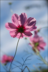 Cosmos bipinnatus 'Pink Sensation' enjoy the late summer sunshine (Four Seasons Garden) Tags: pink light summer england sun flower beautiful garden four seasons cosmos walsall sensation bipinnatus