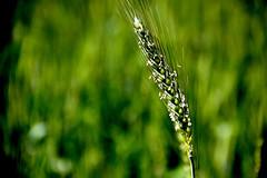IMG_6081 (Professor Jayme Ayres) Tags: de trigo flres