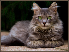 Quite a poser ! (FocusPocus Photography) Tags: portrait cat canon poser chat kitty portrt gato katze adopted kater fynn longhaired catpose 60d langhaarkatze fynnegan