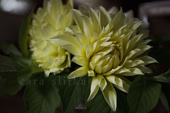 bloom (cara slifka) Tags: dahlia flowers stilllife flower floral leaves petals pretty decorative bloom delicate simplepleasure likeapainting