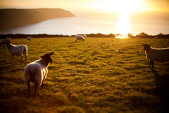 (drfugo) Tags: sunset sea grass sheep devon hedge woolacombe putsborough baggypoint rimlight canon5dmkii nikon55mmf12s nikkors55mmf12typeiv