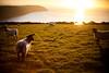 (drfugo) Tags: sunset sea grass sheep devon hedge woolacombe putsborough baggypoint rimlight canon5dmkii nikon55mmf12s nikkors55mmf12typeiv