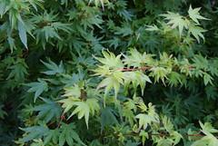 DSC00108 (Prox-Photography) Tags: autumn tree japanese maple oak sony cotswolds bark acer ash yew alpha a200 ceder nebari thenationalarboretum palmatium gloscestershire westonbirtwestonbirt
